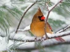 cardinalgirl