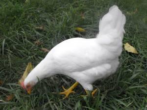 Chickzilla
